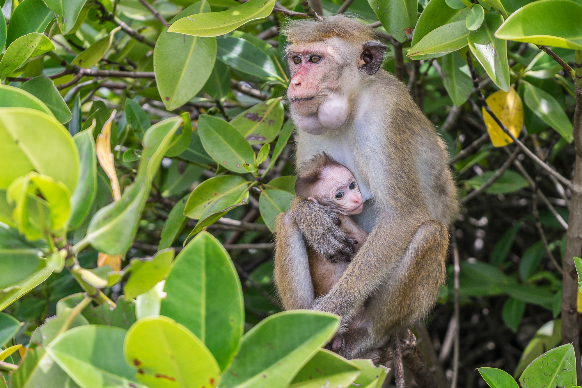 Breastfeeding monkey