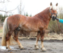Linja-Linkki suomenhevonen ori ravuri ravihevonen ratsu