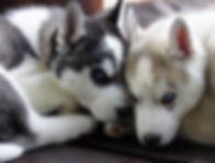 ハスキーブリーダー、ハスキーブルーアイ子犬、ハスキー子犬、シベリアンハスキー専門犬舎、ブルーアイ、ハスキーパピー