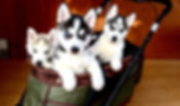 ハスキー子犬、ブルーアイ、ハスキーブルーアイ子犬、シベリアンハスキー専門犬舎、シベリアンハスキー、ハスキーブリーダー
