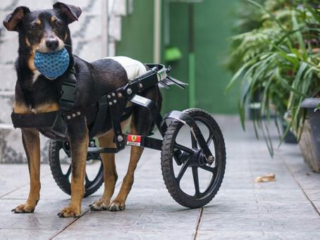 Andar Medular em Cães – Combatendo a Paralisia Canina