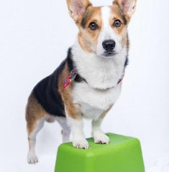 Otite crônica em cães: entenda os por quês