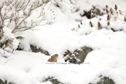 エゾナキウサギ