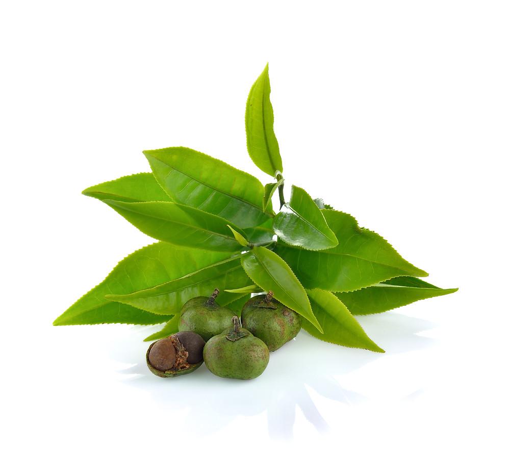 Camellia sinensis tree