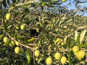 Olive belica