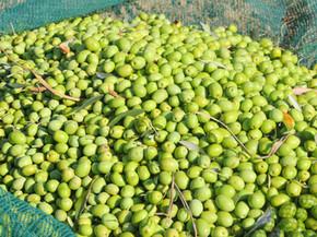 Sveže nabrane olive