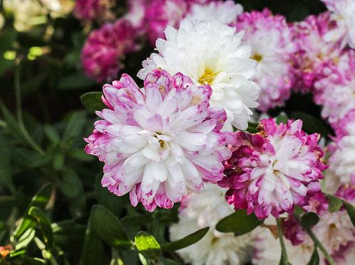 Pink Floral Beauties