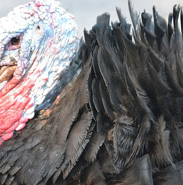 Paul Masters for Conress Campaign Mascot is a Turkey, Ben Franklin's Favoite National Bird
