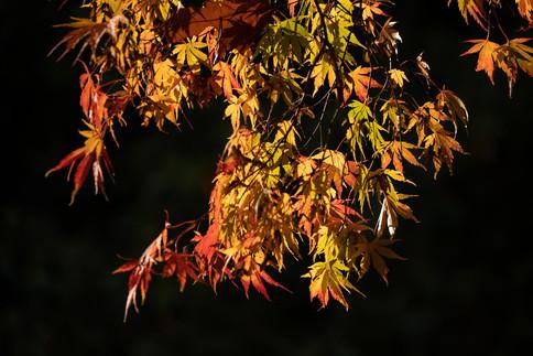 Autumnal acers, Stourhead