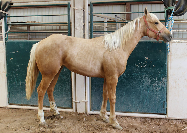 High Brow Cat mare for sale