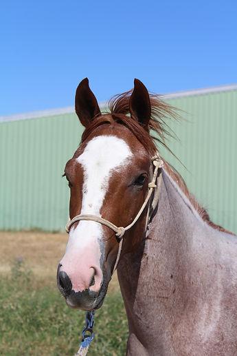 Peptoboonsmal mare for sale