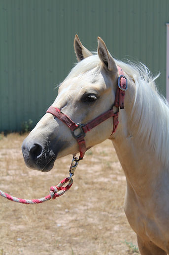 High Brow Cat stallion for sale