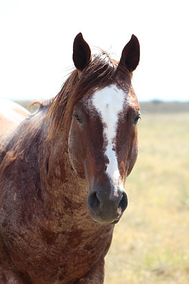 Kiehnes Topboonsmal- Peptoboonsmal Stallion