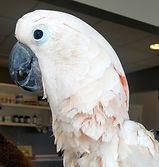 Rocky the Moluccan Cockatoo