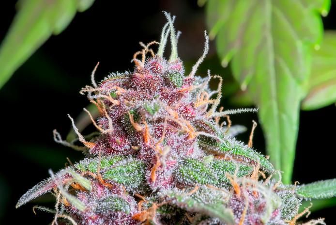 Cannabis Sativa In Flower