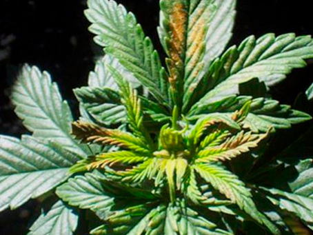 Protect Your Plants; Preventing Nutrient Deficiencies in Cannabis
