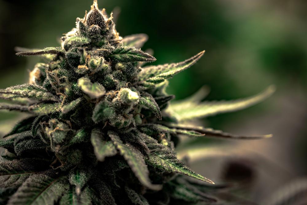 Medical Cannabis Photo