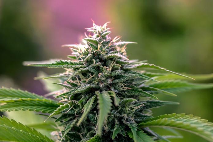 Cannabis Indica Flower