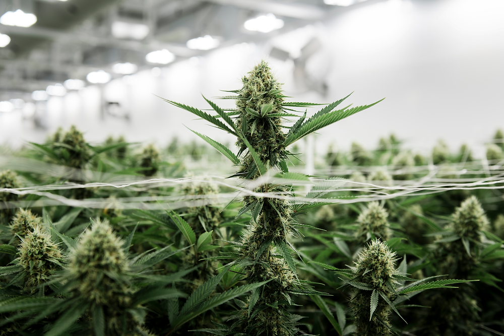 cannabis flowering in a cultivation facility