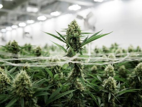 Curating Cannabis Cultivation Tactics; Why So Meticulous?