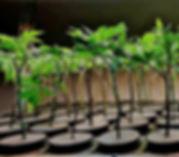 cloning medical marijuana plants in a grow medium