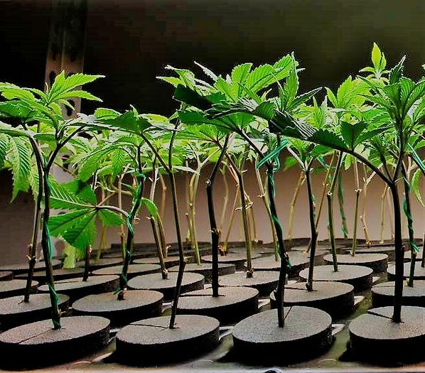 cloning medical marijuana plants in a grow medium