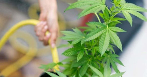 When-And-How-To-Water-Cannabis-Plants-Ma