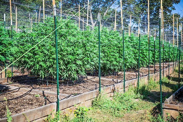 outdoor cannabis grow operation