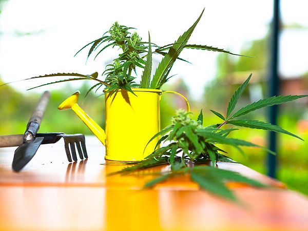 watering your cannabis plants