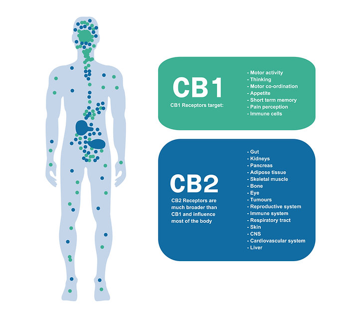 CB1 and CB2 receptors in the endocannabinoid system