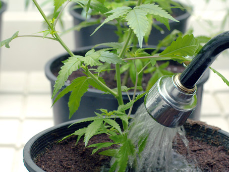 Tips for Watering Your Cannabis Plants