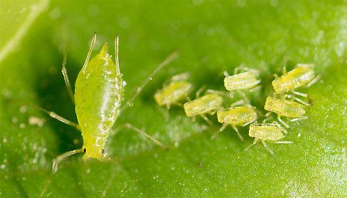 Aphids Pest Control