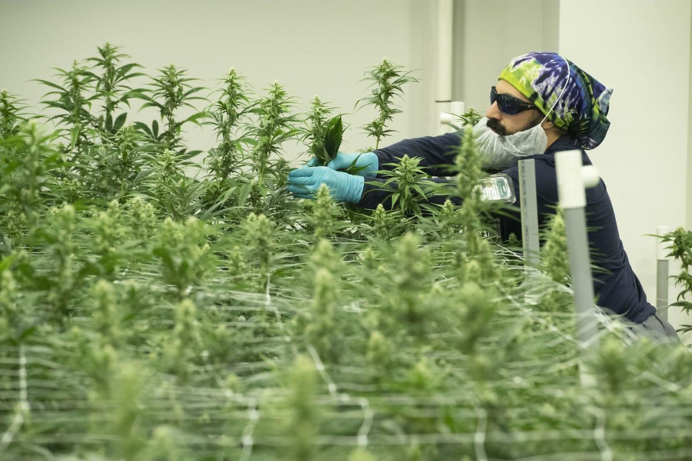 Ca man carefully nurtures a cannabis plant