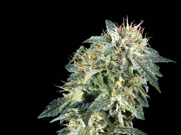 Northern Lights - a popular marijuana strain