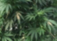 spider mites in a cannabis grow