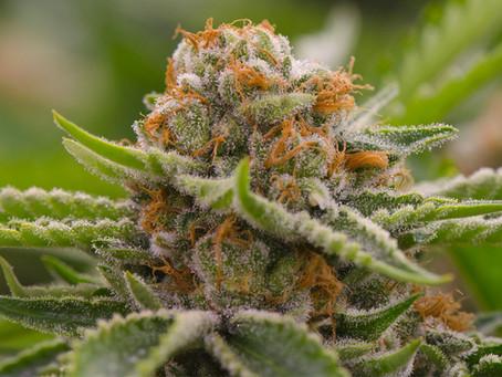 Marijuana Lies, Not Myths.