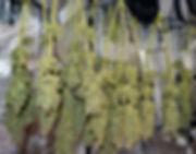 curing cannabis in missouri