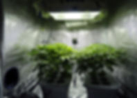 hydroponic cannabis grow in a grow tent with ventilation