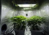Two_hydroponic_cannabis_plants.jpg