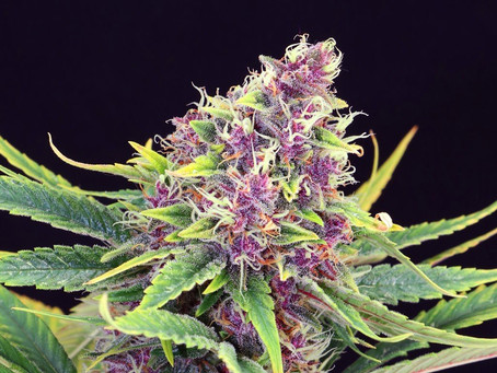 Cannabis Color During Cultivation; Why Some are Purple