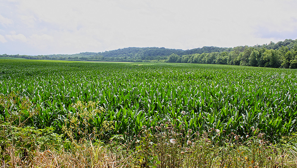 ever_present_corn.jpg
