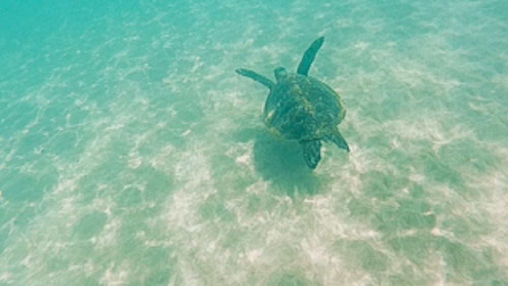Losing our go pro during snorkelling meant very few turtle pictures!