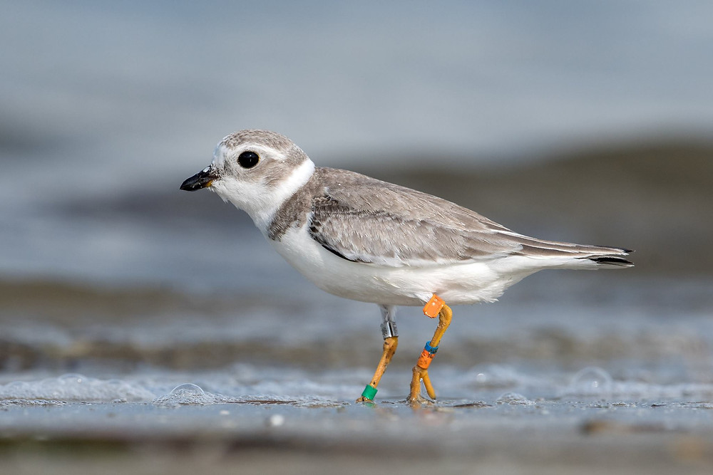 Here Of,B/OO:X,G is seen at Fort De Soto Park in Florida, where many Great Lakes piping plover spend the winter.  Photo by Peter Brannon