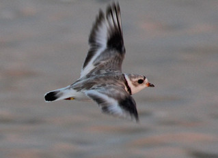 Great Lakes Piping Plovers begin their journey north!