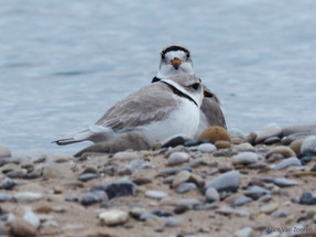 The First Piping Plovers return to Great Lakes Beaches!