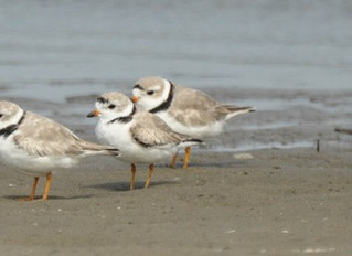 Great Lakes Piping Plovers return to Non-breeding territories