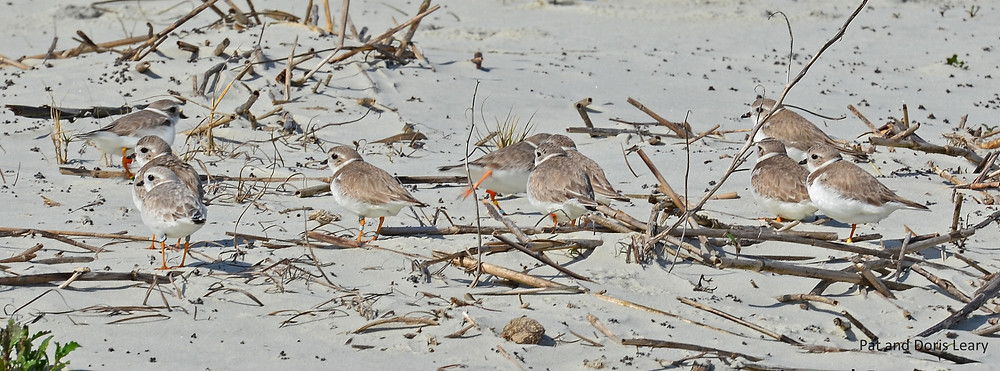 A group of Piping Plovers photographed by Pat Leary on their wintering grounds.  Note the orange-flagged plovers.  These are Great Lakes Piping Plovers!