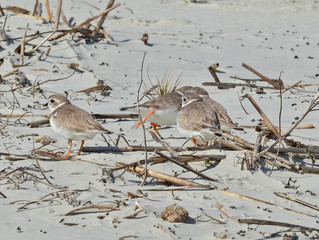Piping Plovers on the Wintering Grounds