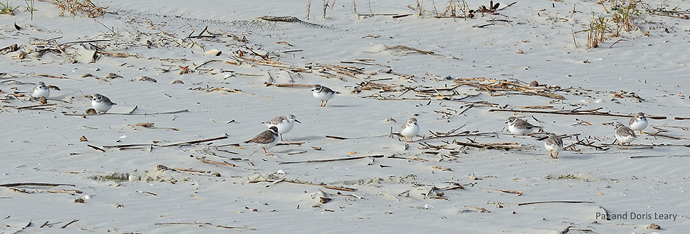 Photograph by Pat Leary.  Piping Plovers roosting in winter habitat.