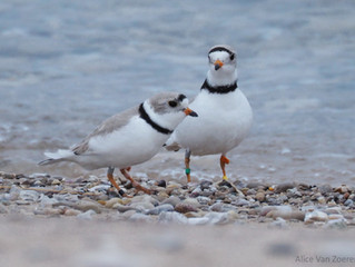 First Great Lakes Piping Plovers of 2019 Arrive